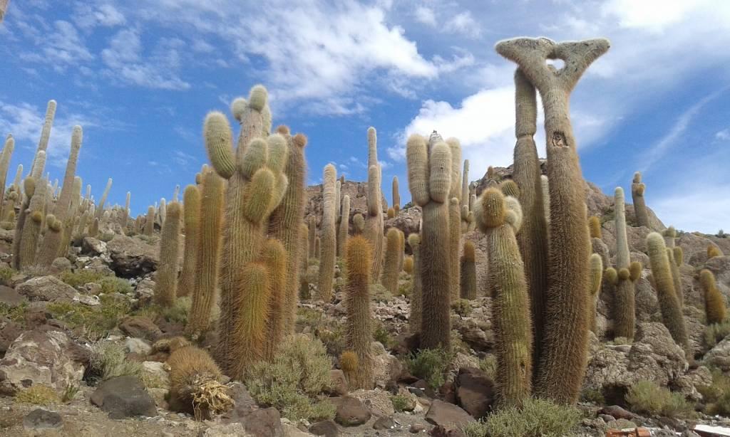 cactus salar de uyuni