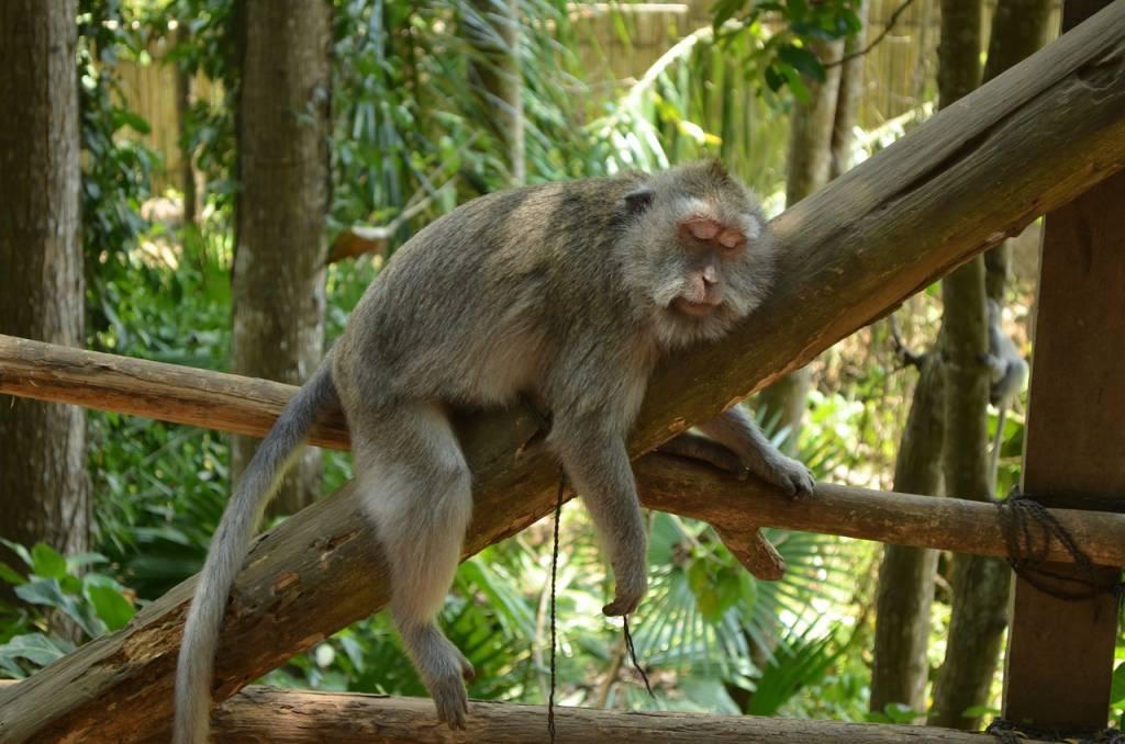 mono durmiendo ubud