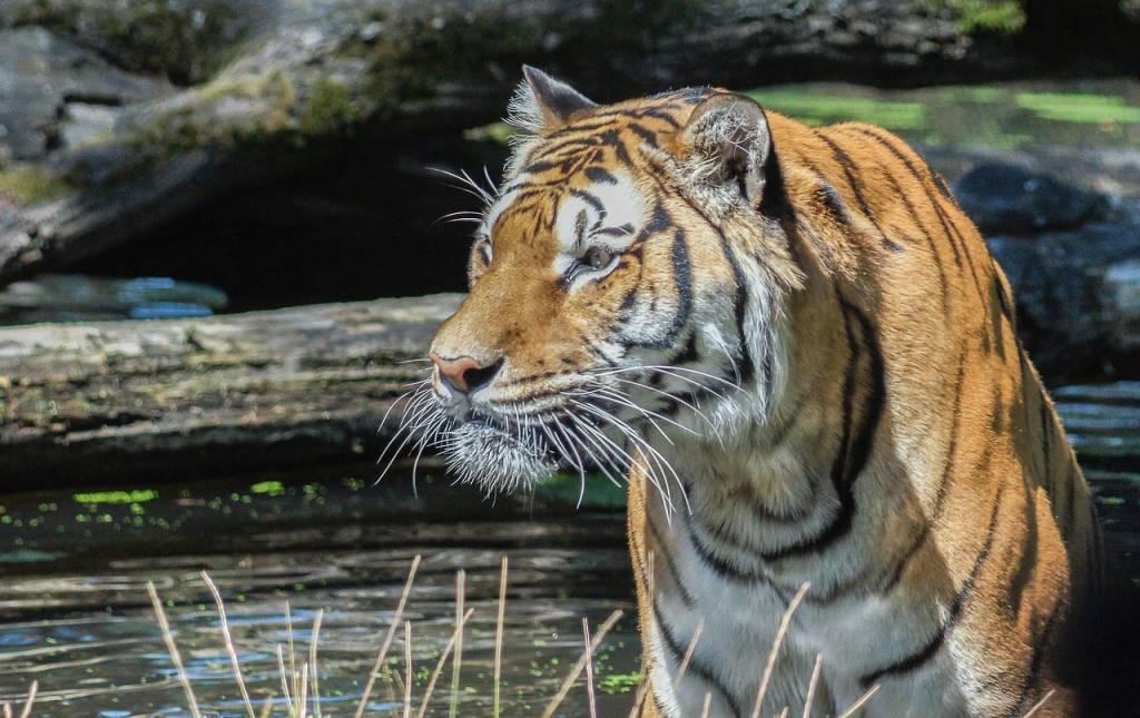 tigre serengeti